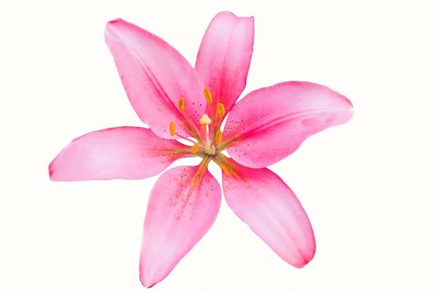 Bellissimo fiore di giglio rosa