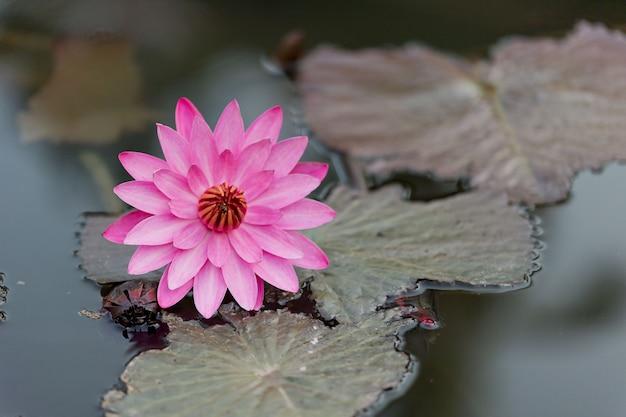 Bellissimo fiore di loto nello stagno, acqua gocciolina sul loto