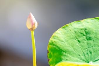 Bellissimo fiore di loto rosa. Fuoco vicino con la foglia verde dentro nello stagno, spuma blu profonda dell'acqua