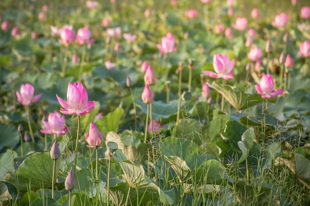 Bellissimo fiore di loto rosa