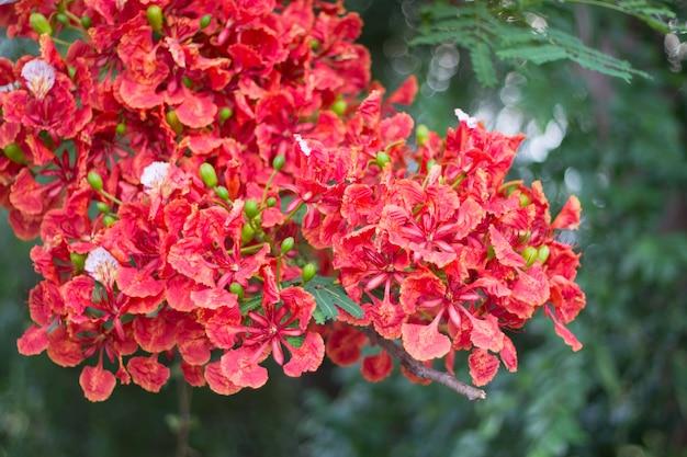 Bellissimo fiore di pavone rosso in natura