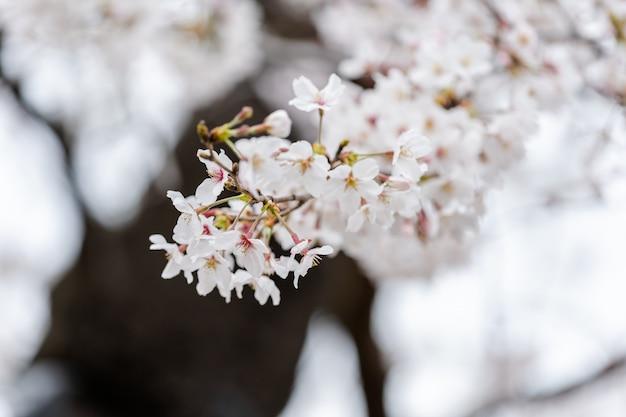 Bellissimo fiore sakura, cherry blossom