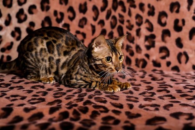 Bellissimo gatto bengalese con grandi occhi animale