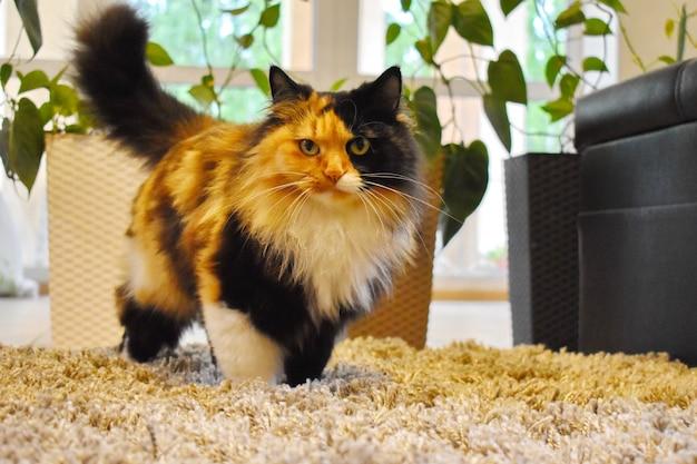 Bellissimo gatto che cammina sul tappeto