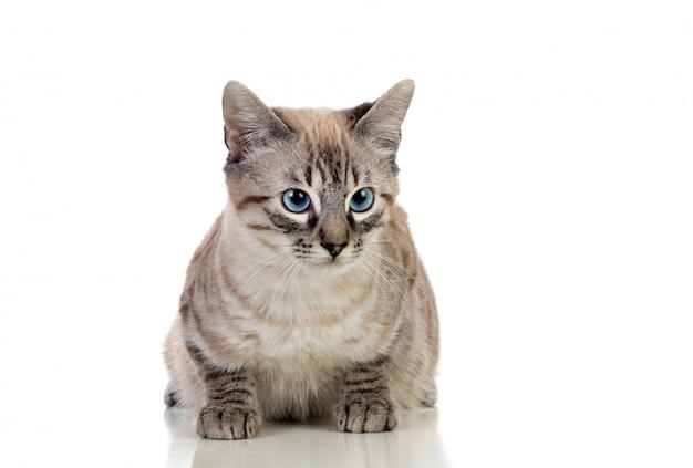 Bellissimo gatto con gli occhi blu