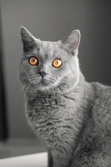 Bellissimo gatto grigio britannico, ritratto di close-up, grigio, grandi occhi gialli