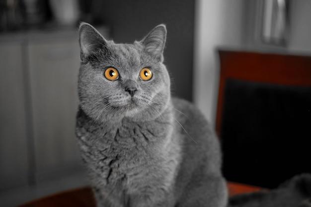 Bellissimo gatto grigio britannico