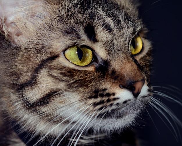 Bellissimo gatto grigio con gli occhi gialli