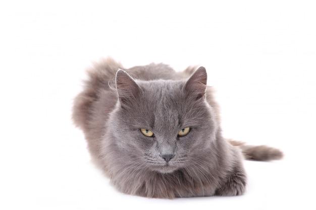 Bellissimo gatto grigio isolato su uno sfondo bianco