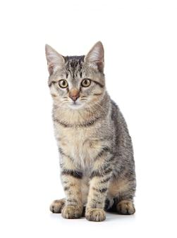 Bellissimo gatto