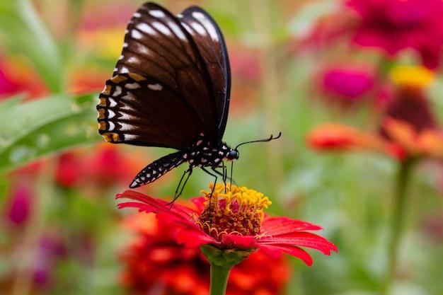Bellissimo giardino di fiori di crisantemo e bella farfalla succhiare il nettare dal polline