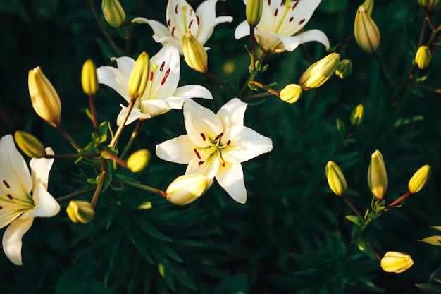 Bellissimo giglio bianco nel giardino all'aperto, fiore di giglio, tempo di primavera, fioritura della natura.
