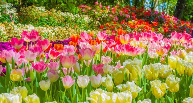 Bellissimo giglio rosa in giardino con goccia d'acqua, nebbia, fiori di giglio di colore fresco in mattinata.