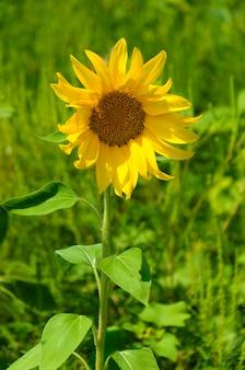 Bellissimo girasole giallo brillante