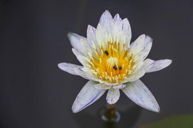 Bellissimo loto bianco in acqua