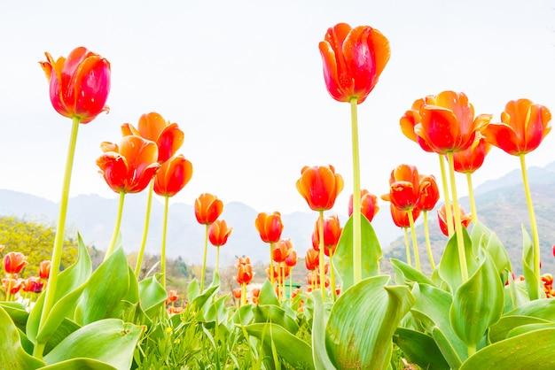 Bellissimo mazzo di tulipani nella stagione primaverile.