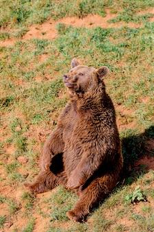 Bellissimo orso spagnolo marrone
