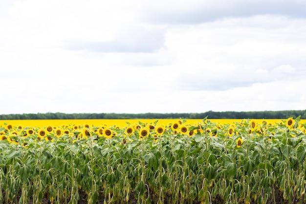 Bellissimo paesaggio con girasoli gialli. campo di girasole, agricoltura, concetto di raccolto.