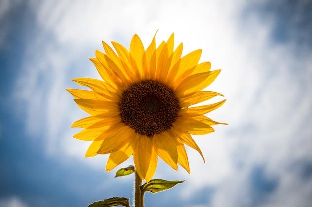 Bellissimo paesaggio di fiori gialli di un girasole