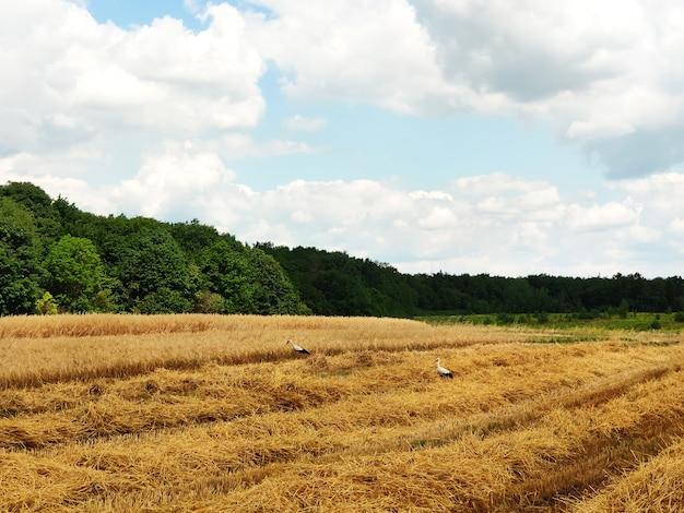 Bellissimo paesaggio estivo. raccolta all'aperto. campo di grano in campagna. le cicogne camminano intorno al campo e raccolgono i resti di grano.