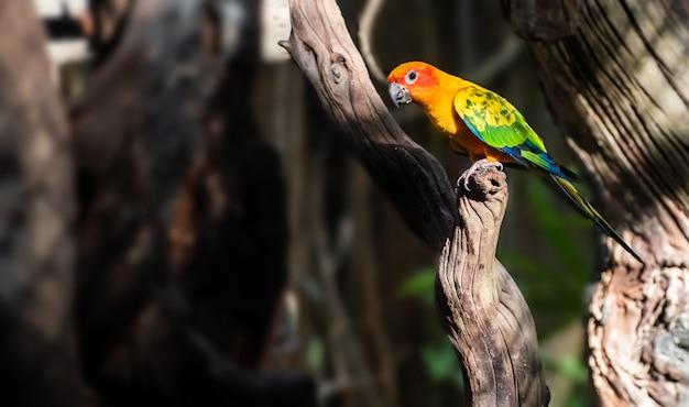Bellissimo pappagallo, sun conure sul ramo di un albero