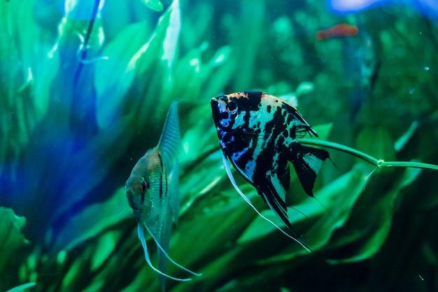 Bellissimo pesce d'acquario