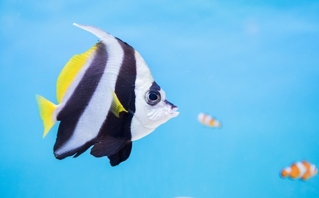 Bellissimo pesce farfalla su sfondo blu