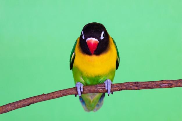 Bellissimo piccioncino su un ramo