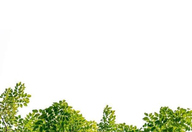 Bellissimo ramo di un albero con foglie colorate su sfondo bianco.