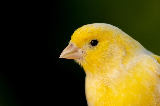 Bellissimo ritratto di un canarino giallo
