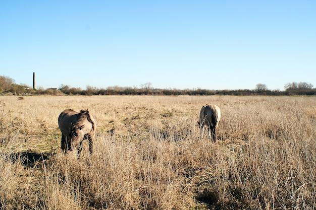 Bellissimo scatto di simpatici asini al pascolo in un campo pieno di erba secca sotto un cielo blu