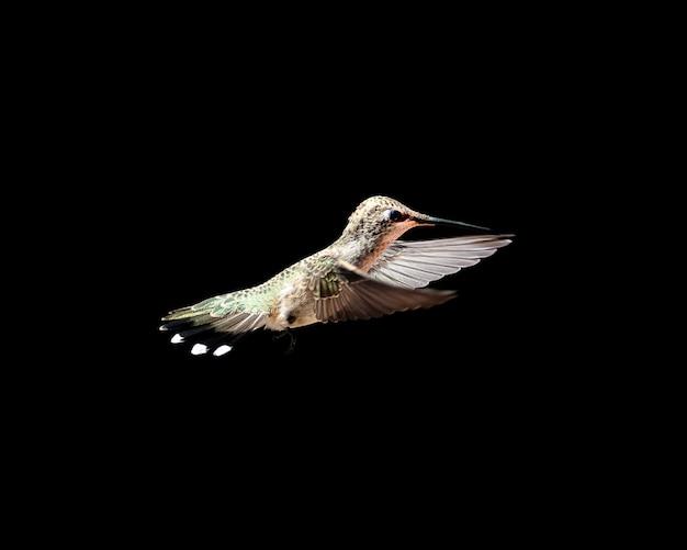 Bellissimo scatto di un colibrì con uno sfondo nero come la pece