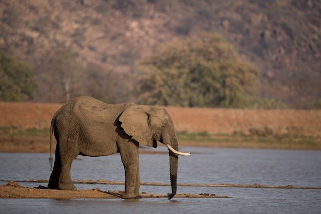 Bellissimo scatto di un elefante africano di acqua potabile sul lago