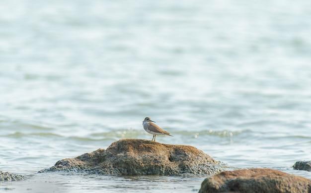 Bellissimo scatto di un uccello del piovanello sulla roccia nell'oceano in india