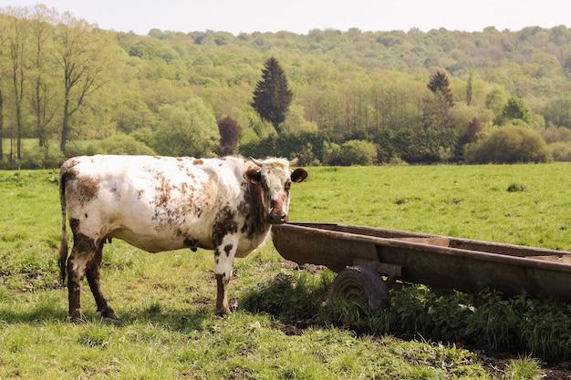 Bellissimo scatto di una mucca bianca e marrone nei campi circondati da montagne coperte di alberi