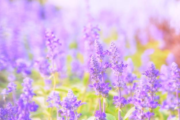 Bellissimo sfondo di fiori con salvia farinacea benth (soft focus)