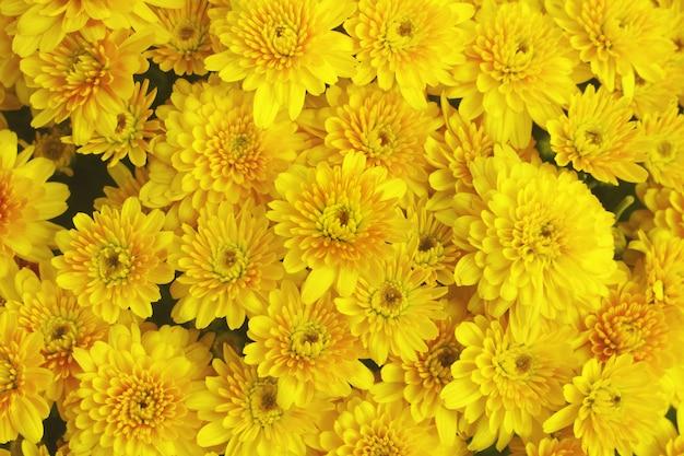 Bellissimo sfondo di tarassaco, fiori gialli sta fiorendo in giardino.