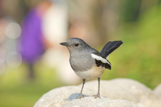 Bellissimo uccello bianco e nero, femmina orientale magpie robin