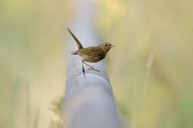 Bellissimo uccello seduto su un tubo tra l'erba verde