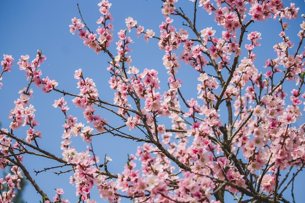 Bello albero del fiore di ciliegia con naturale blu