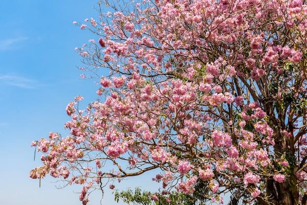 Bello albero di tabebuia rosea e fiore rosa dell'albero di tromba ottimistico