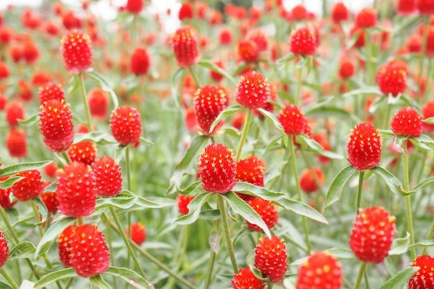 Bello amaranto rosso del globo o fiore del bottone del celibe nel fondo del giardino