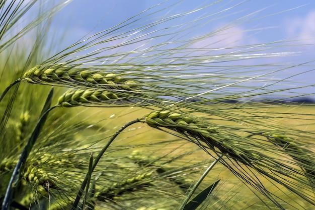 Bello, awned, orecchie del grano pieno di orzo su una priorità bassa del campo e del cielo