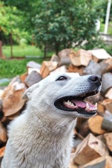 Bello bianco siberiano, cane sorridente, mostrando la sua lingua e denti in una giornata di sole