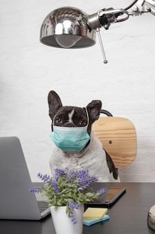 Bello bulldog francese con la maschera medica protettiva che funziona dal suo computer a casa.