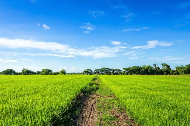 Bello campo di mais verde con il cielo lanuginoso delle nuvole.