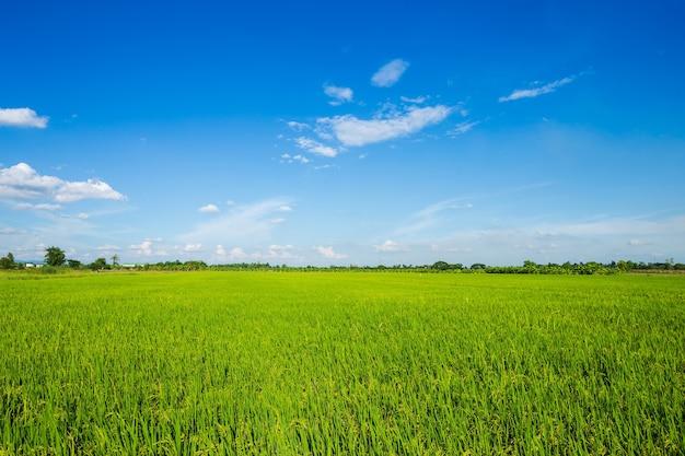 Bello campo di mais verde con il fondo del cielo delle nuvole lanuginose.