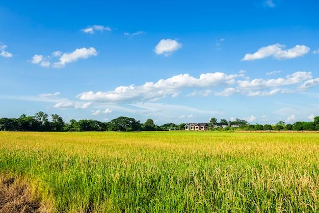 Bello campo di mais verde con il fondo del cielo delle nuvole