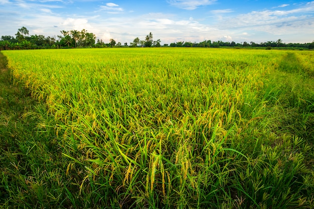 Bello campo di mais verde con il fondo del cielo di tramonto