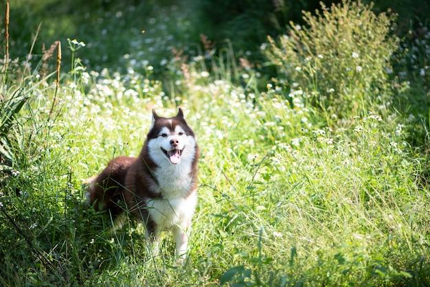 Bello cane del husky siberiano che cammina nella foresta
